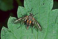 Ibisfliege, Männchen, Atherix ibis, ibis fly, snipe fly, male, Ibisfliegen, ibis flies, Athericidae