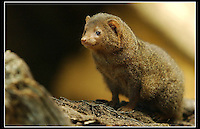 Dwarf Mongoose (Helogale Parvula) - Zoological Society of London - 15th June 2003