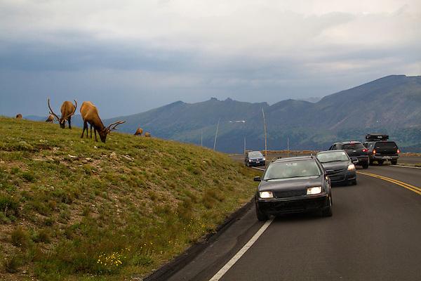Visitors and bull elk along Trail Ridge Road, Rocky Mountain National Park, Colorado.