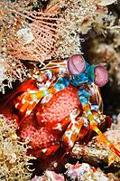 Peacock mantis shrimp with eggs, Odontodactylus scyllarus, Lembeh Strait, Sulawesi, Indonesia, Pacific Ocean