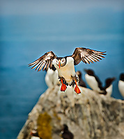 An Atlantic Puffin coming in to land with rocks and razor bills in background