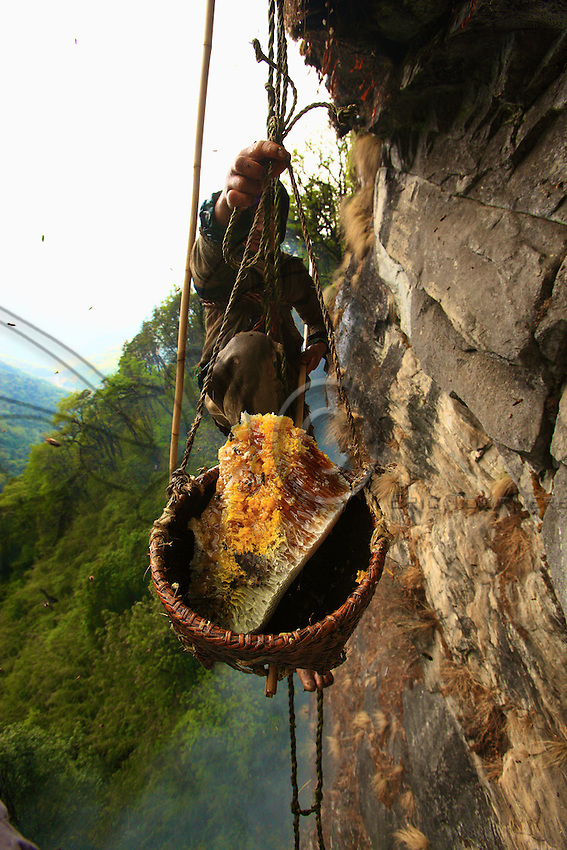 The honey is stored in the bulging part of the nest, attached to the rock. To collect it, the Perengge must position the bamboo basket by maneuvering another pole held at arm's length, underneath the part he is preparing to cut away with the other pole. <br /> From the top of the cliff, two men adjust the tension of the rope supporting the basket, guided solely by orders yelled out by Bolo Kesher's son, who is stationed further off to have an overall view of the site. It is a coordinated effort that is accomplished blindly and on which the harvest's success heavily depends.