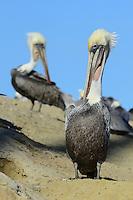 Brown Pelican (Pelecanus occidentalis) Pelecanus occidentalis californicus, La Jolla, California, USA