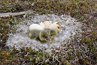 Greater White-fronted Goose (Anser albifrons) nest and newly hatched chicks. Yukon Delta National Wildlife Refuge, Alaska. June.