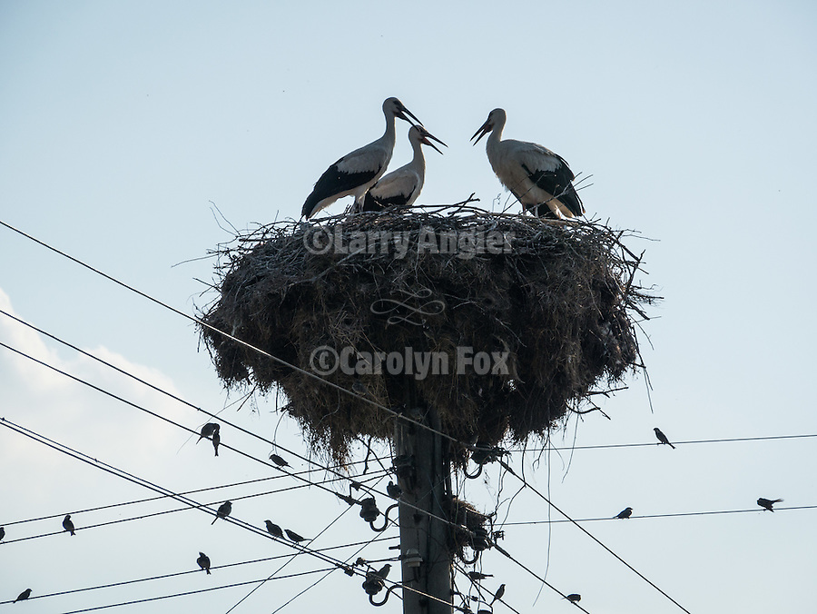 Storks nesting on top of power pole, Mlearovo, Turkey