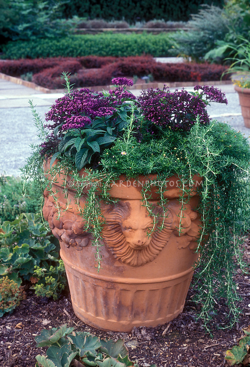 Heliotrope and prostrate Rosemary herb Rosmarinus officinalis 'Prostratus' in Lion head terracotta planter, fragrant plants in big huge container in garden