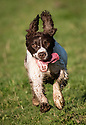 06/11/17<br /> <br /> Springer spaniel, Chester, loves to run and jump and even seems to enjoy 'performing' for the camera. But occasionally, things don't go quite to plan. In this set of photos the first image shows the three-year-old leaping effortlessly, more like a stallion than a dog, from a bridge crossing a stream over a stile. But before his feat of gravity-defying athleticism, Chester first tried to clear the jump in the other direction. This attempt was a rather less elegant affair and saw him completely misjudge the height of the stile, landing on his tummy with his front and back legs either side of the highest wooden plank before crashing down on to the bridge beams below. Uninjured, and undeterred, Chester cleared the stile on his second attempt, with inches to spare before continuing his afternoon run around fields near Ashbourne, Derbyshire.<br /> <br /> <br /> All Rights Reserved F Stop Press Ltd. +44 (0)1335 344240 +44 (0)7765 242650  www.fstoppress.com