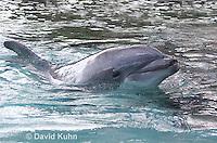 1029-1004  Common Bottlenose Dolphin, Tursiops truncatus  © David Kuhn/Dwight Kuhn Photography