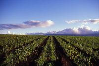Kunia sugar cane field, oahu