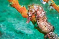 A thorny seahorse, Hippocampus histrix, sits on a sponge covered perch, Bima Bay, Sumbawa, Nusa Tenggara, Indonesia, Pacific Ocean
