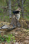 Ruffed grouse (Bonasa umbellus) drumming wings to attract a mate