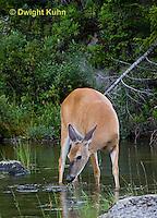 MA11-541z  Northern (Woodland) White-tailed Deer eating pond plants, Odocoileus virginianus borealis