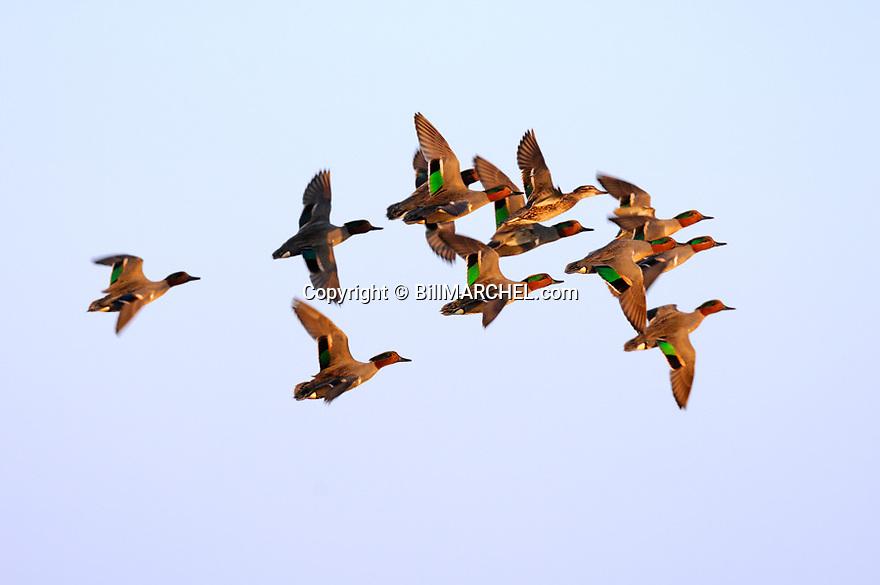 00310-014.15 Green-winged Teal Duck (DIGITAL) flock in flight against blue sky.  Courtship, action, fly, waterfowl, wetlands.  H1R1