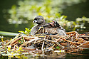 A baby pied-billed grebe yawns after a nap snuggled safe under his mothers wings.