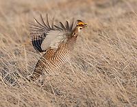 Lesser prairie-chicken flutter hopping