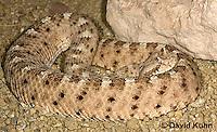 1120-0805  Sidewinder Rattlesnake (Horned Rattlesnake), Crotalus cerastes © David Kuhn/Dwight Kuhn Photography