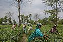 The Dark Side of Tea, India