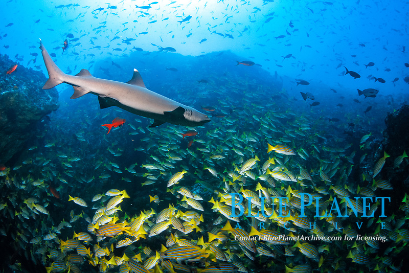 whitetip reef shark, Triaenodon obesus, blue-and-gold snapper, Lutjanus viridis, Pacific creolefish, Paranthias colonus, Cocos Island, Cocos Island National Park, Costa Rica, Pacific Ocean
