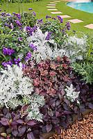 Purple foliage garden: Heuchera, fragrant plant flowers of heliotrope, dark purple plantings with silver dusty miller, lawn, path, Perilla