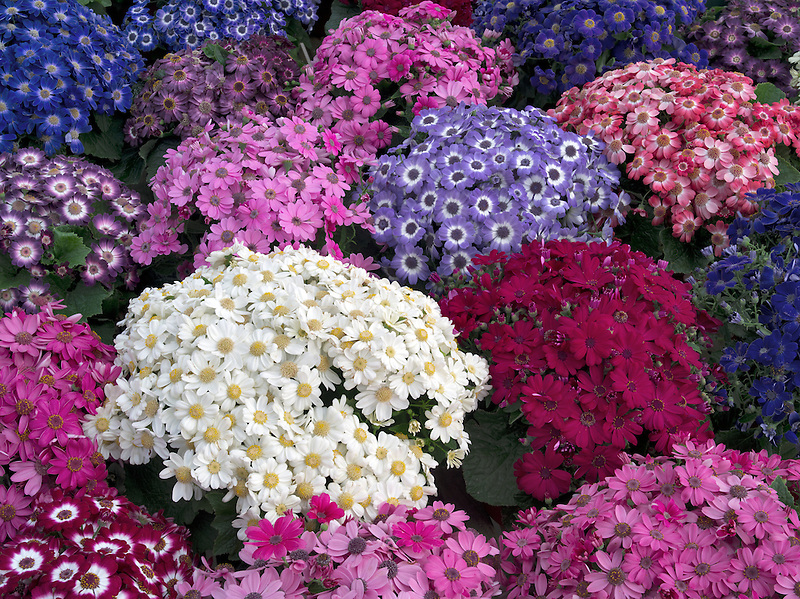 Pots of flowers - Cineraria.