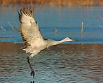 Sandhill Crane Takeoffs
