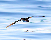 Audubon's shearwater flying