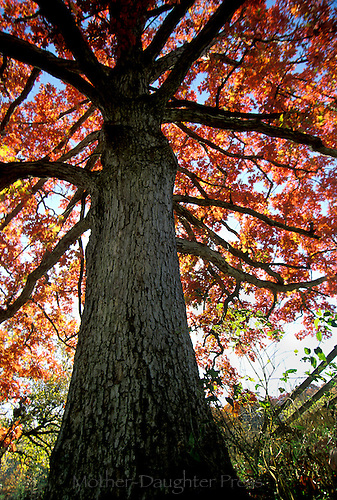 Huge White oak tree fall (Quercus alba) in fall with sunlight coming through orange leaves