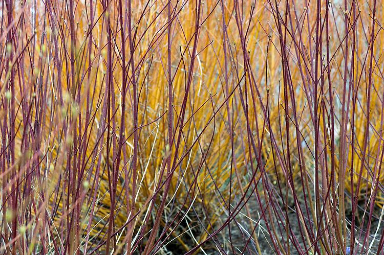 Stems of red osier dogwood (Cornus stolonifera 'Baileyi' syn. C. sericea 'Baileyi'), with yellow stems of coral bark willow (Salix alba var. vitellina 'Yelverton') in the background, mid March.