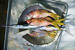 Fresh jackfish or urel in a tin bowl ready to be cooked on Isla Pelikano, San Blas Islands, Kuna Yala, Panama