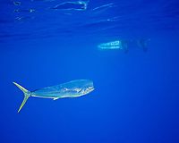 mahi-mahi, dorado, or common dolphin-fish, Coryphaena hippurus, Kona Coast, Big Island, Hawaii, USA, Pacific Ocean