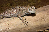 0209-1001  Eastern Fence Lizard (Fence Swift), Sceloporus undulatus  © David Kuhn/Dwight Kuhn Photography.