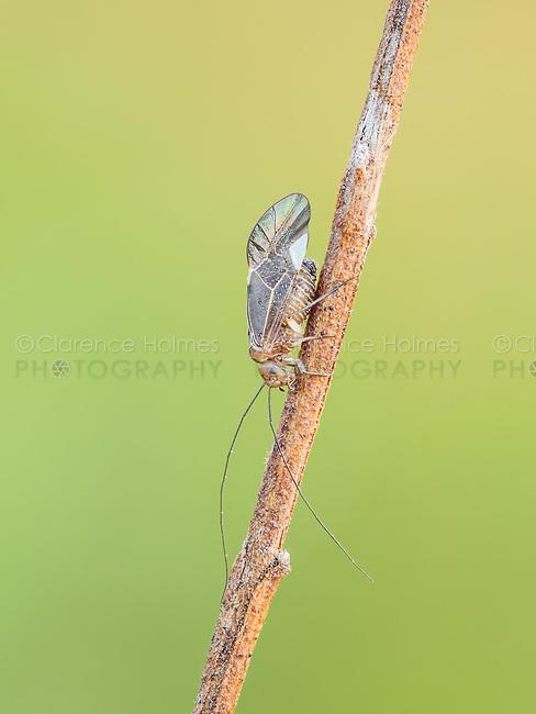 A Common Barklouse (Cerastipsocus venosus) perches on a plant stem.