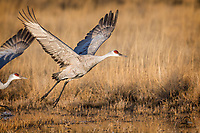Sandhill Crane (Grus canadensis) beats its buddy off the line as they get airborne above the pond.  Bosque del Apache National Wildlife Refuge, New Mexico.