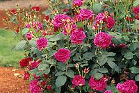 English shrub Rose 'Wenlock'