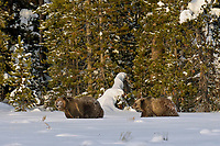 Grizzly Bear with cub.  December.  Snow.  Rocky Mountains.  Wyoming.