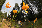 Orange Humboldt lily (tiger lily) flower in the Pine Grove Cemetery, Amador Country, Calif.