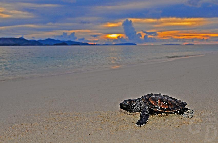 Turtle Hatchling Palawan at Sunset