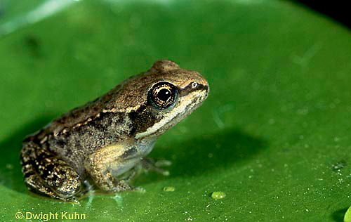FR19-027z  Wood Frog - young adult -Lithobates sylvaticus, formerly Rana sylvatica