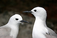 Grey Ternlets courting at Lord Howe Island, New South Wales