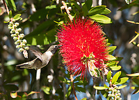 Male Black-chinned Hummingbird, Archilochus alexandri, feeds from a Bottlebrush flower, Callistemon sp., at Sacramento National Wildlife Refuge, California