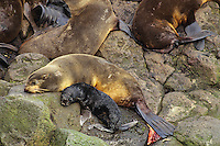 Female Northern Fur Seal (Callorhinus ursinus) rests after giving birth to pup--notice after birth near her tail.  Alaska.