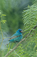 Indigo Bunting, Passerina cyanea, male, South Padre Island, Texas, USA, May 2005