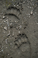 Brown Bear tracks along a salmon stream. Sockeye Salmon spawn in Southcentral Alaskan streams. Each of these fish will die after depositing milt and eggs in the river gravel. The influx of marine nutrients from their eggs, carcasses, and progeny sustains a myriad of species, including Dolly Varden Char and Coastal Brown Bears (whose tracks are pictured here). As keystone species, salmon, Sockeyes in particular, are critical to the health and function of these ecosystems.