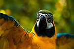 Macaw Blue-and-Yellow Macaw