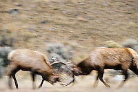 Two large Rocky Mountain Bull Elk sparring during fall rut, Western U.S.