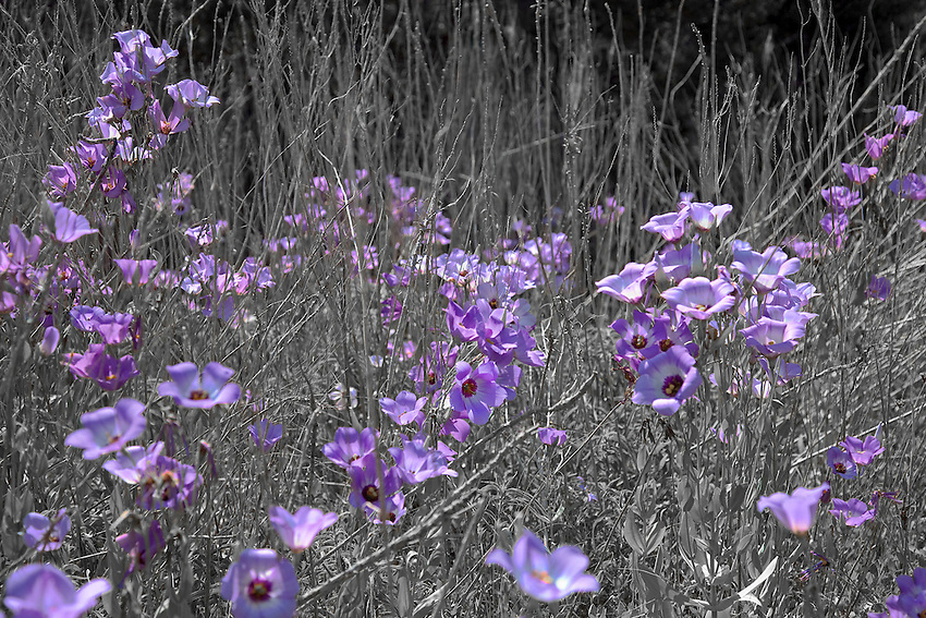 """Wild Eustoma from the series, """"Drought"""" photographed during the severe drought of 2011 in Texas"""