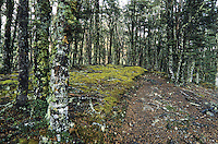 A walking track through the beech forest near Anne Saddle on St. James Walkway -  Lewis Pass National Reserve