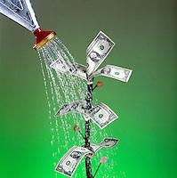 Watering money tree, growing money