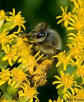 "1210-0906  Camouflaged Ambush Bug (Phymata spp.) Adult on Goldenrod Hunting a Honeybee (Apis mellifera) ""Virginia""  © David Kuhn/Dwight Kuhn Photography"