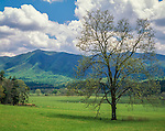 Great Smoky Mountains National Park, TN: Single tree in spring pasture under building sumulus clouds - Cades Cove